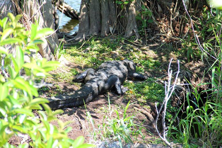 Freilebende Alligatoren