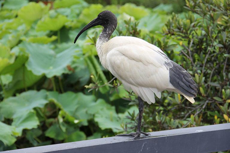 Ein Ibis im Royal Botanic Garden