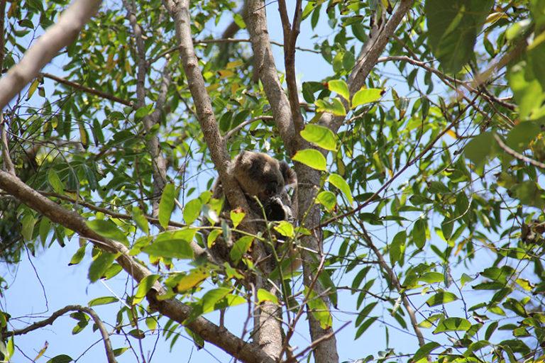 Koala in Noosa Heads