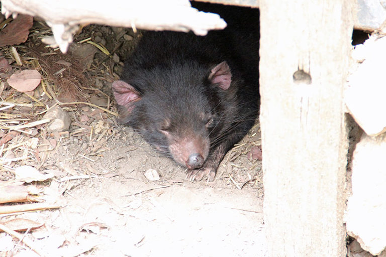 Eher in Tasmanien beheimatet: ein Tasmanischer Teufel