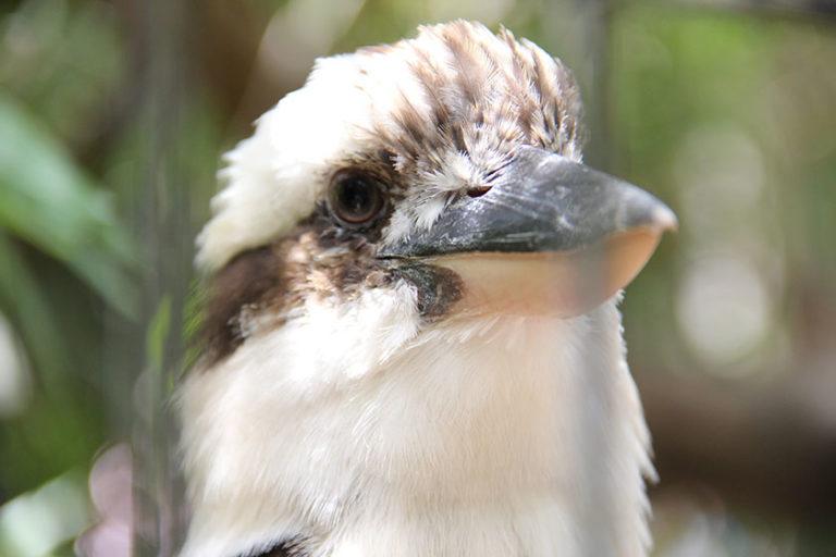 Kookaburra hinter Gittern