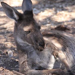 Känguru auf dem Weingut Whisler