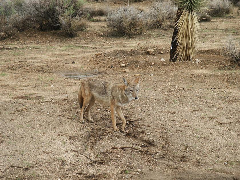 Suchbild mit Koyoten