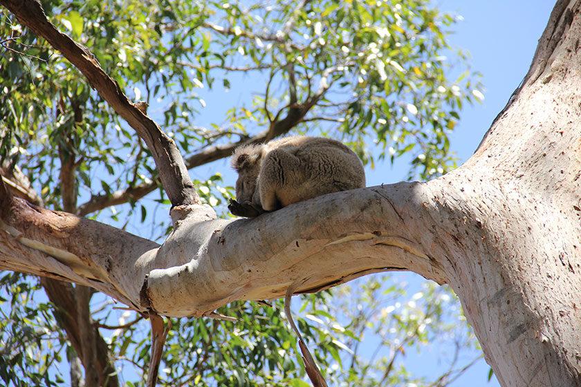 Koalas auf dem Weg zum Cape Otway Lighthouse