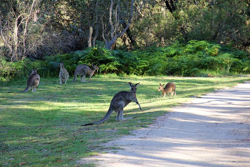 Kängurus auf dem Campingplatz
