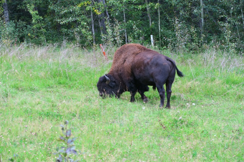 Unser erster Bison