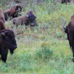 Büffelherden und Sign Post Forrest
