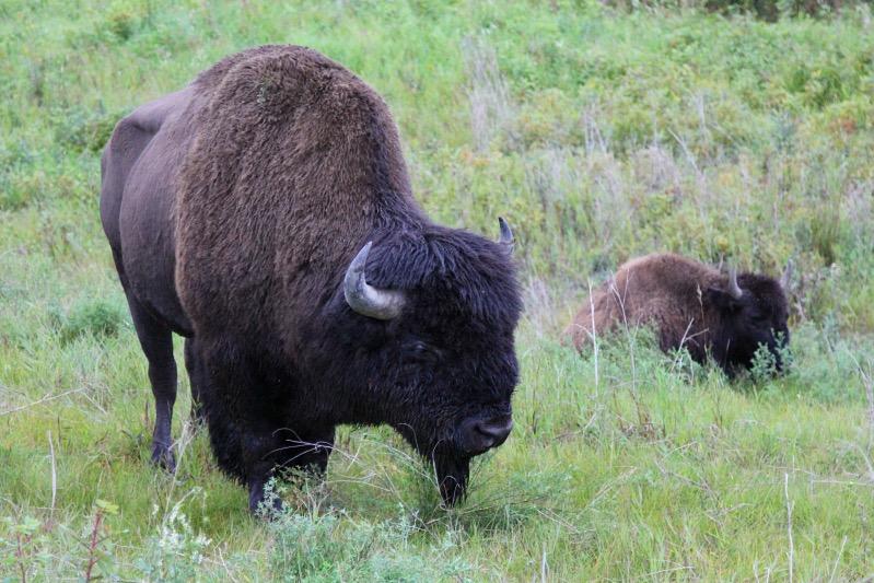 Büffel laufen hier frei herum