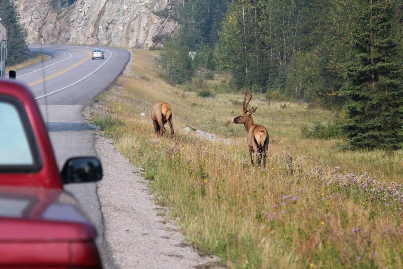 Keine Hirsche, sondern Elks