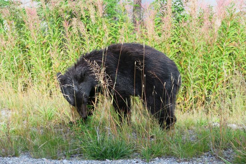 Unser erster Bär, ein kleiner Schwarzbär