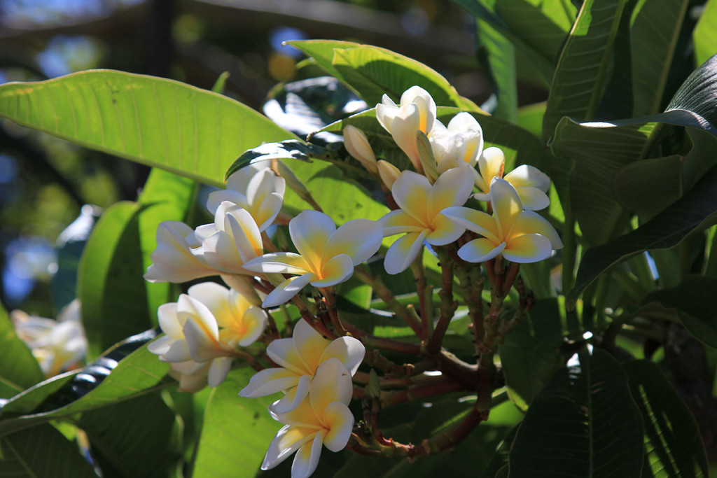 Unsere absolute Lieblingspflanze: Frangipani (oder auch Plumeria)