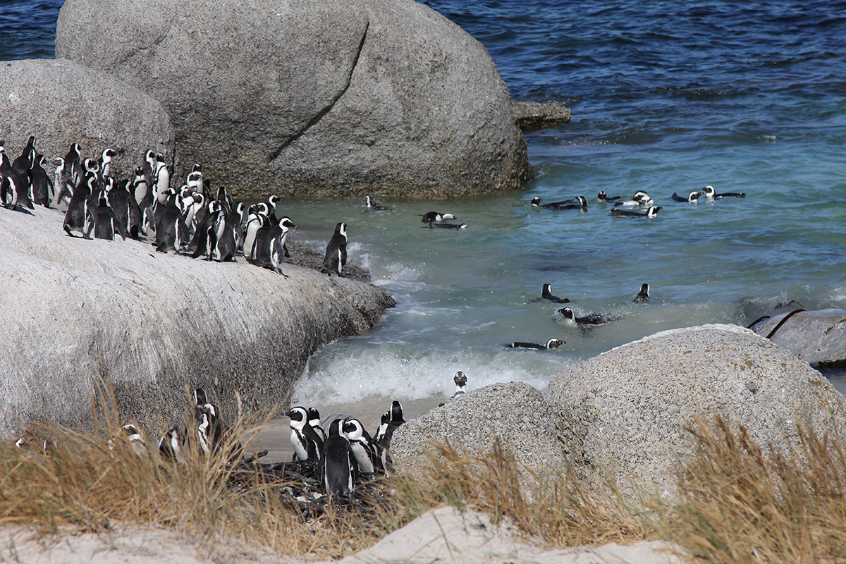 Brillenpinguine am Boulder's Beach