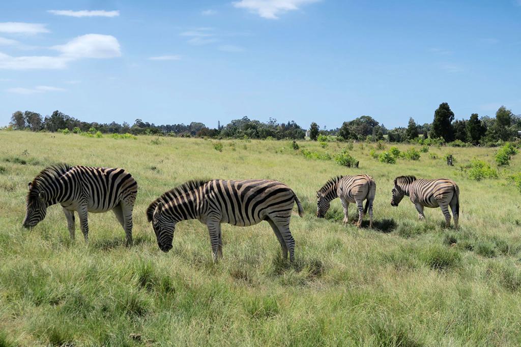 Diese Zebras suchen ein neues Zuhause
