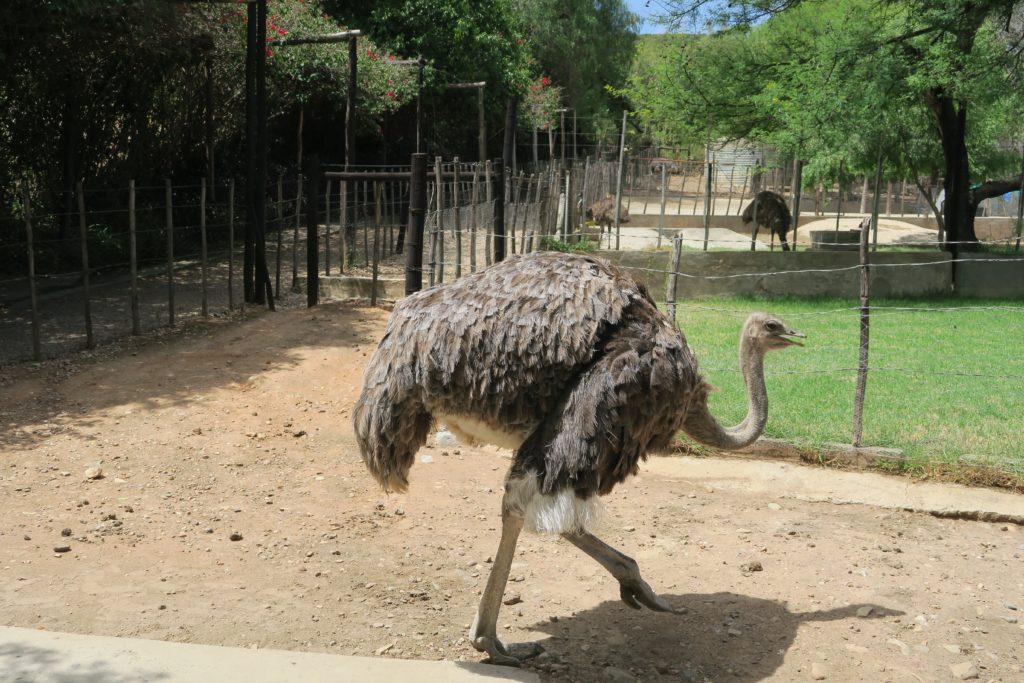 Cango Ostrich Show Farm