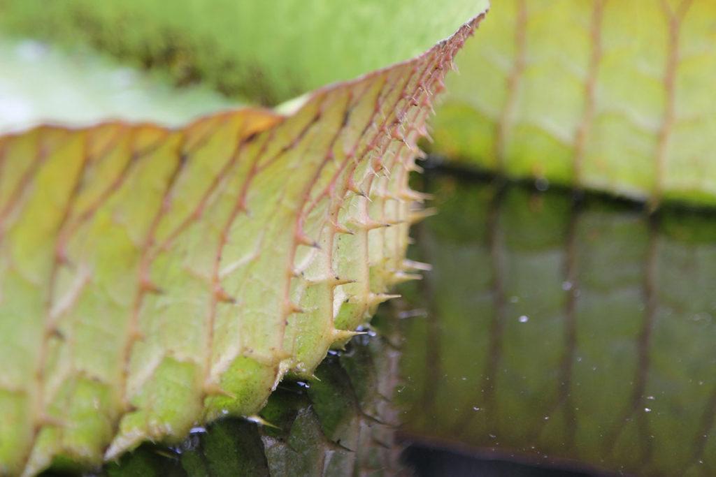 Ein Seerosenblatt in der Nahaufnahme