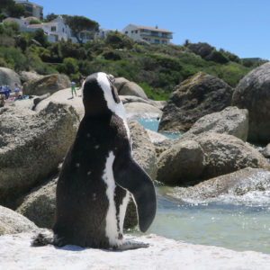 Die Pinguine vom Boulders Beach