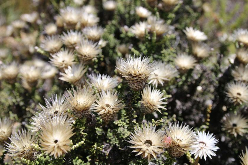 Typisch Südafrika: Weiße Strohblume Syncarpha variegata