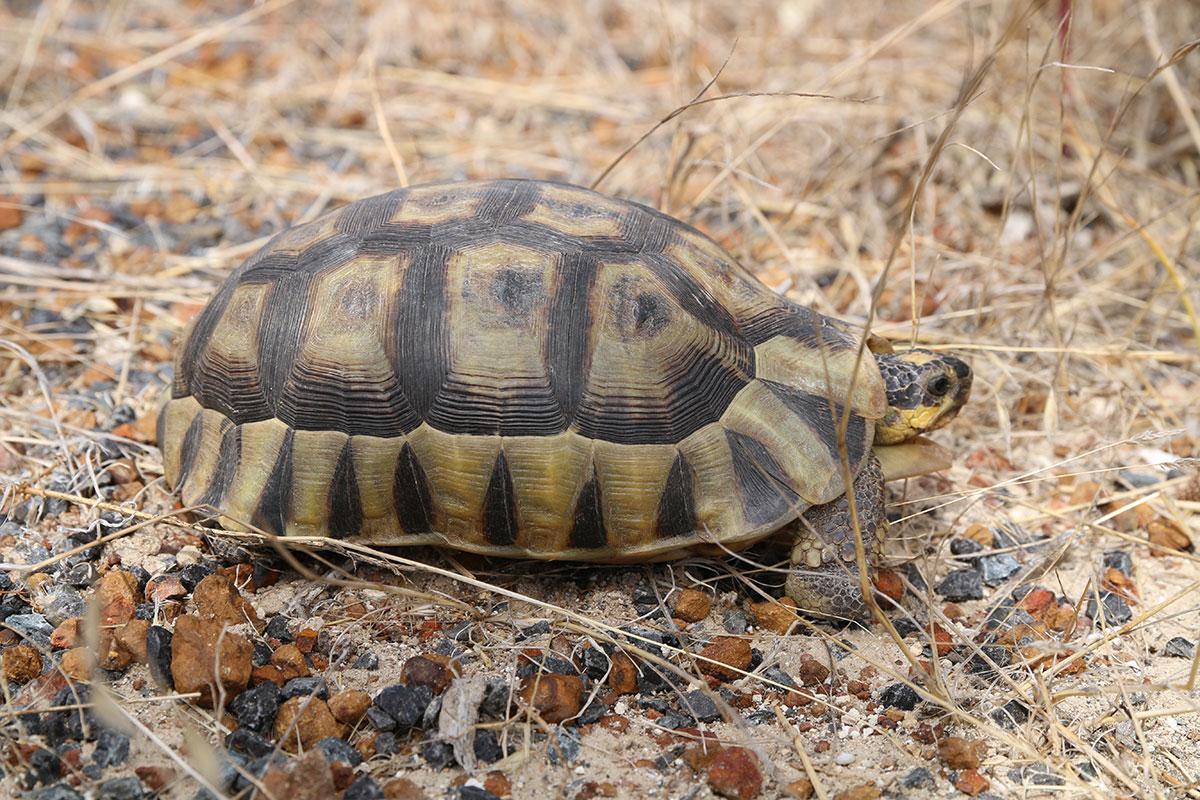 Viele Schildkröten gibts im West Coast National Park