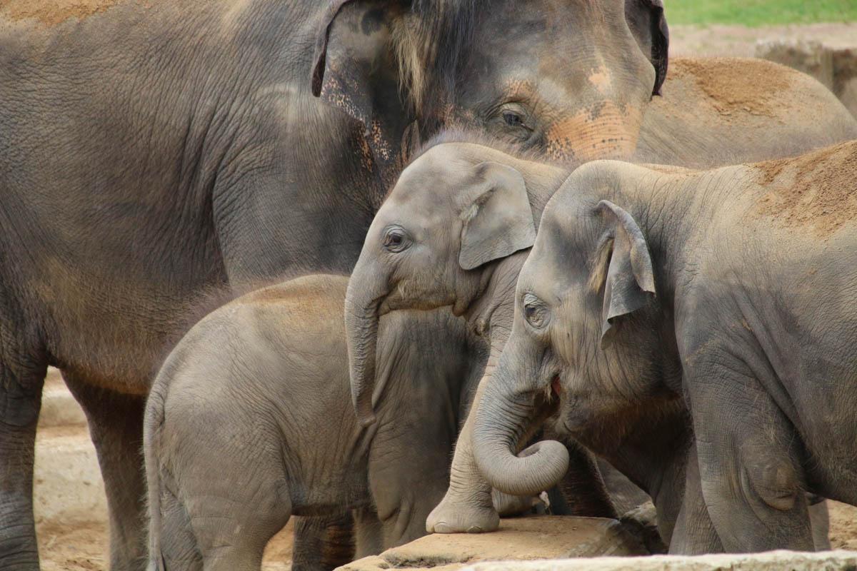 Indische Elefanten Großfamilie