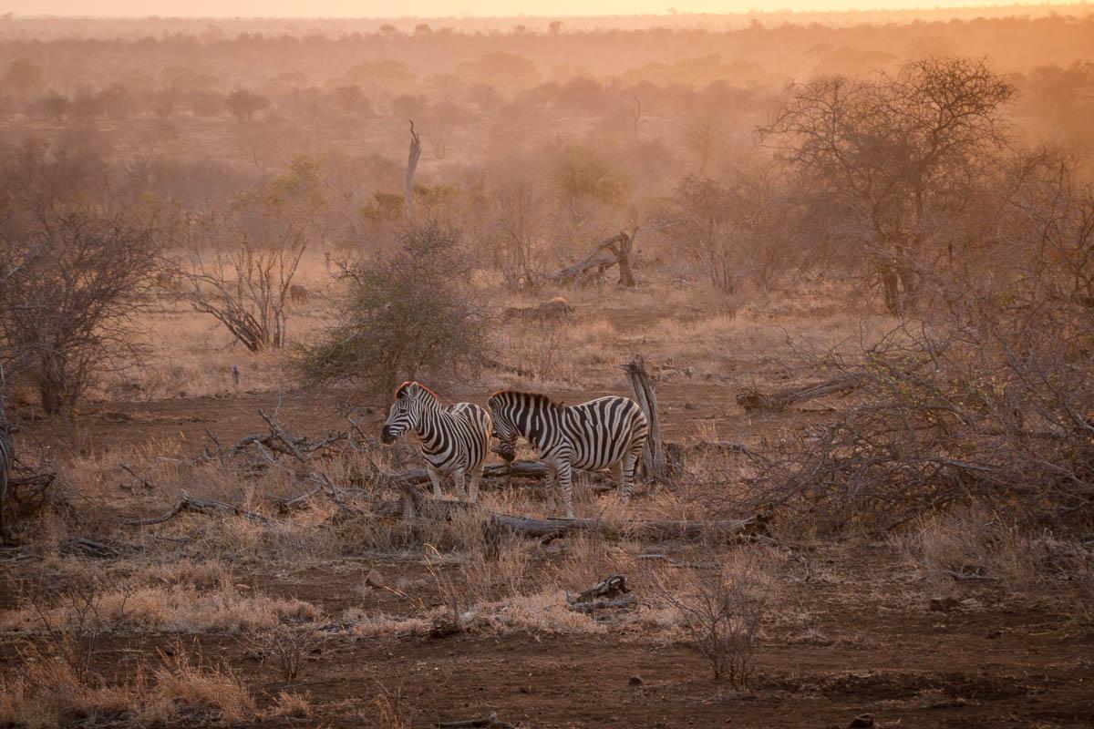 Zebras im Morgengrauen