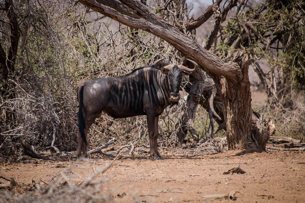 Gnu im Krüger Nationalpark