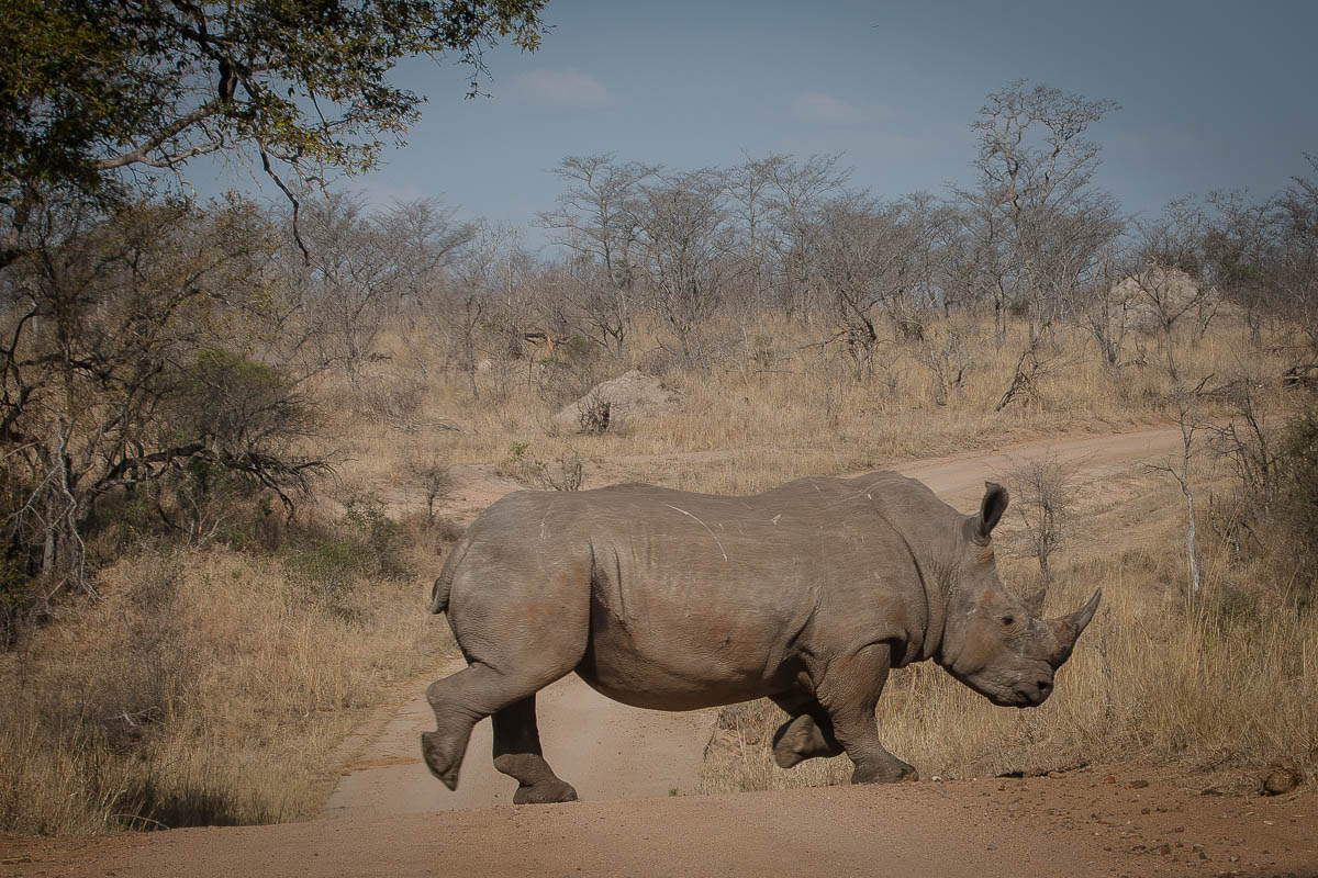 Krüger Nationalpark - Nashorn