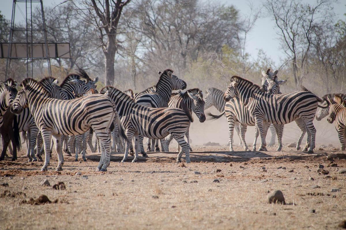 Eine Grupe Zebras im Krüger Nationalpark