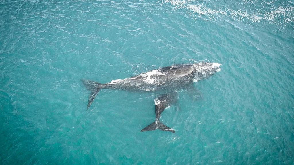 Wale in Hermanus mit der Drohne