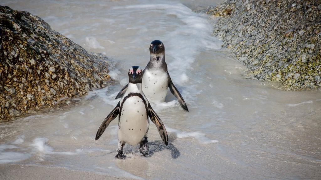 Pinguine vom Boulders Beach