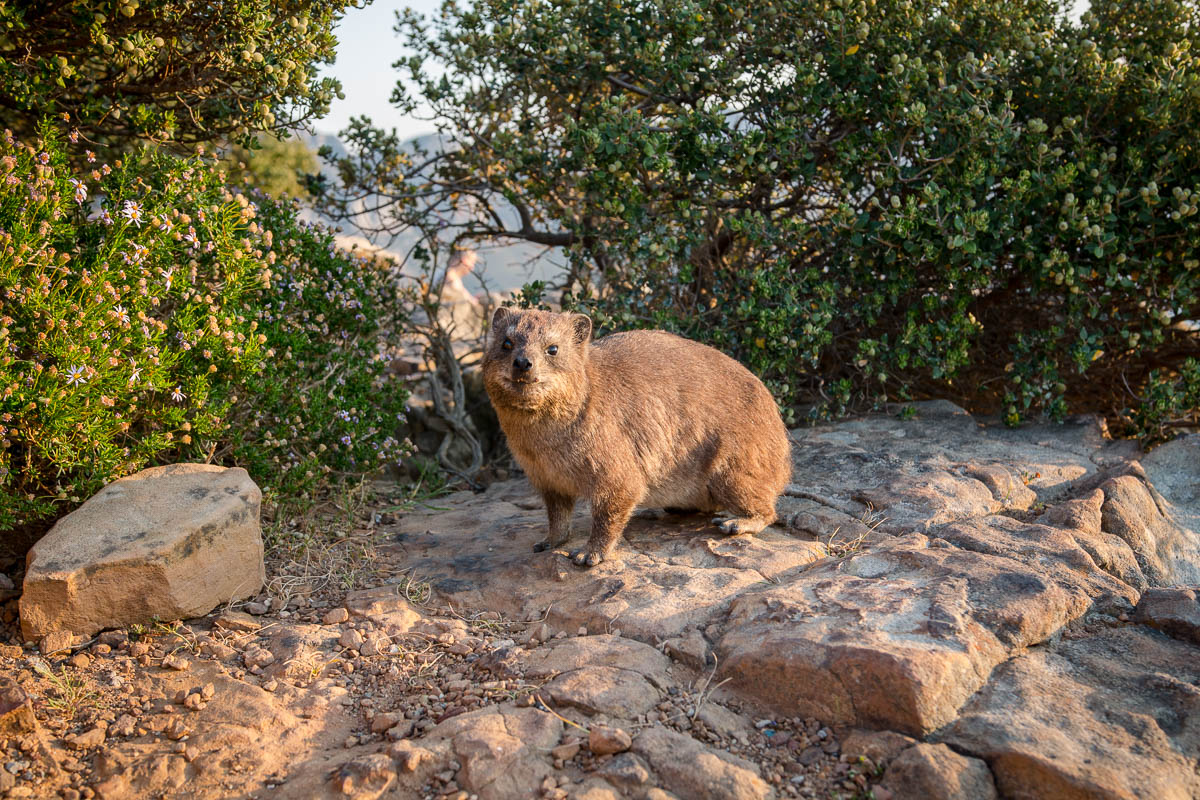 Klippschliefer Lions Head