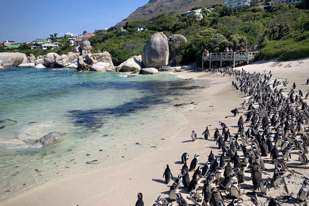 Die Pinguine am Boulders Beach in Simon's Town