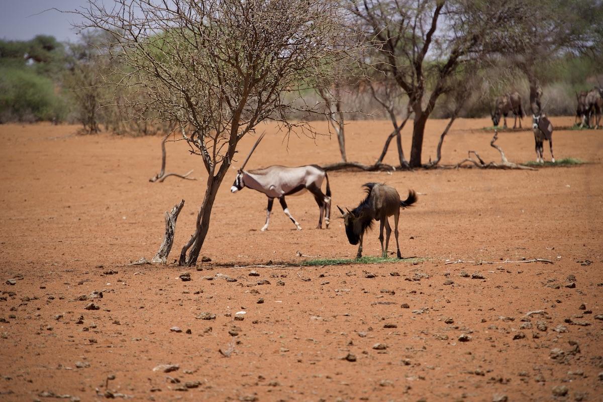 Namibia Oryx und Gnu
