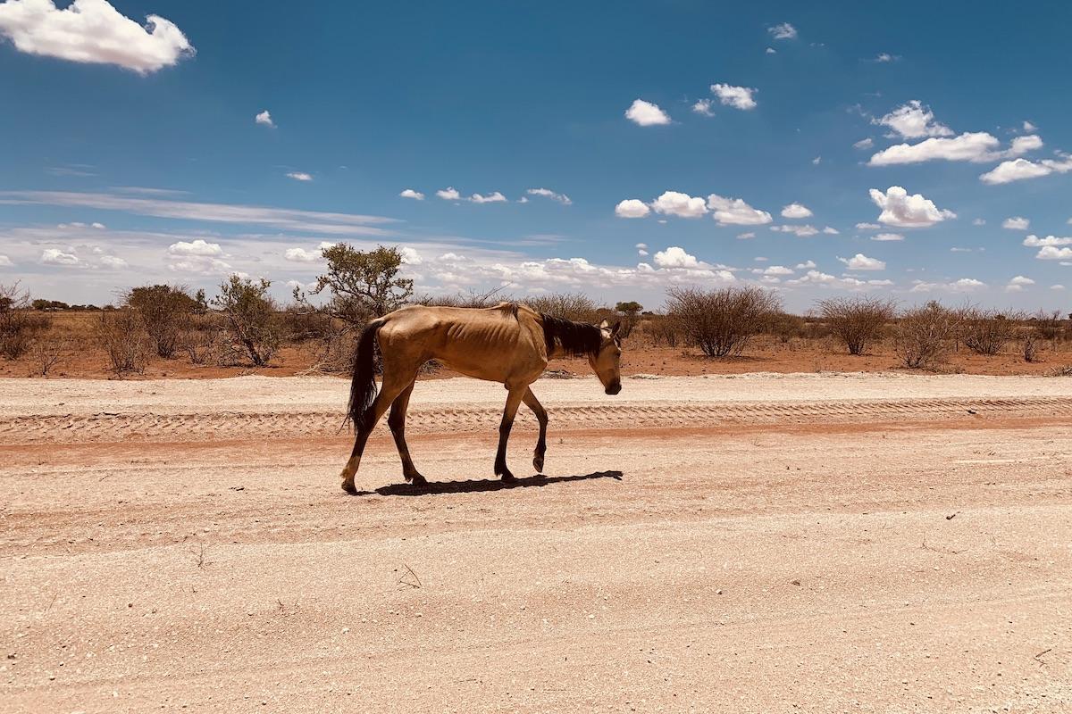 Namibia Wildpferd