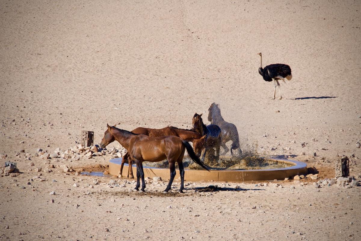 Wildpferde an der Wasserstelle von Garub