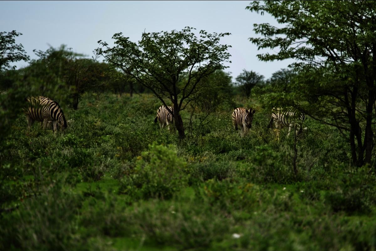 Die Löwenfamilie lauert auf eine Gruppe herannahende Zebras